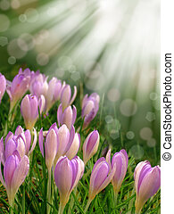 spring crocus abstract bokeh - spring pink purple crocus...