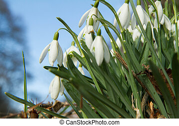Snowdrops blooming in close up