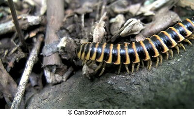 Millipede Crawling On Forest Floor - Millipede crawling on...