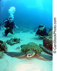Turtles with 2 divers - Endangered Green sea turtle with 2...