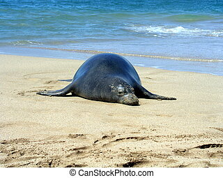 Rare Monk seal - Endangered Hawaiian Monk seal on beach in...