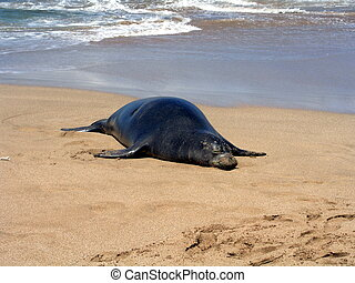 Monk seal in Hawaii - Endangered Hawaiian Monk seal on beach...