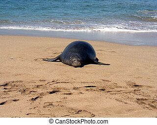 Hawaiian Monk seal - Endangered Hawaiian Monk seal on beach...