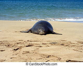 Monk in the sun - Endangered Hawaiian Monk seal on beach in...