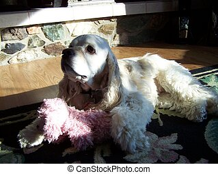 Spaniel with his toy - blur - Cooker spaniel is laying in...