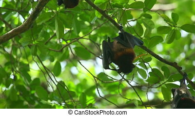 Flying fox - Lyles flying fox Pteropus lylei eating fruit