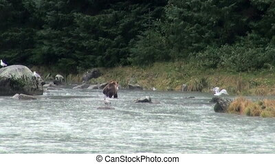 Brown Bear - It Is Time For Lunch - Brown Bear Fishing In...