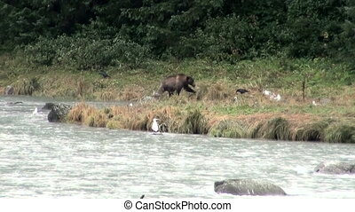 Brown Bear - It Is Time For Lunch - Brown Bear Eating Fish...