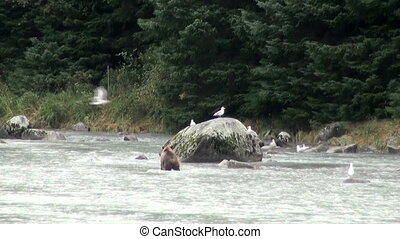 Brown Bear - It Is Time For Lunch! - Brown Bear Fishing In...