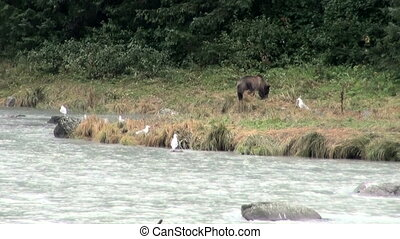 Brown Bear Eating Fish In Rainy Day - Animals In The Wild -...