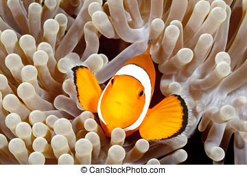 Clown Anemonefish, Amphiprion percula, swimming among the...
