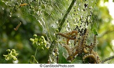 Caterpillar disaster - Caterpillar spring disaster