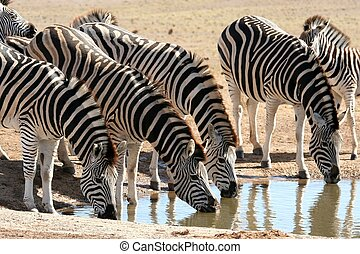 Zebra Herd Drinking Water - Herd of zebras quenching their...