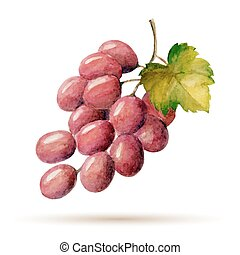 grapes - Watercolor branch red grapes, vector illustration...