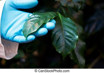 coffee plant being inspected
