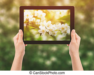 female teen hand hold tablet pc against flowers of jasmine