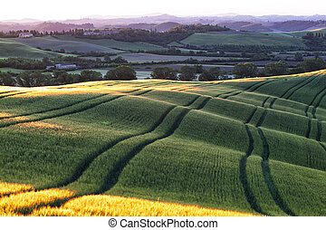 Beautiful wavy fields of the ripening wheat in Tuscany at sunrise