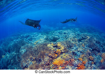 Manta Rays - Manta rays filter feeding above a coral reef in...