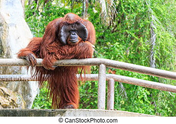 Bornean orangutanPongo pygmaeus in Thailand Found it at...