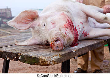 Pig just after slaughtering - Traditional home slaughtering...