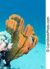 coral, arrecife, con, hermoso, grande, naranja, esponja, en,...