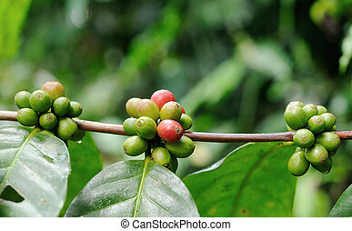 Coffee trees.