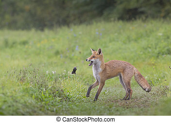 Redfox_5 - Hunting redfox is playing with a vole