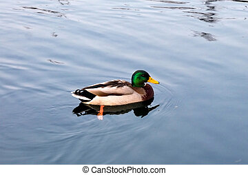 drake mallard duck on the lake