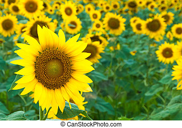 Sunflower fields - Prairie sunflower yellow