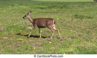 Blacktail Deer - a blacktail deer doe in a grass field
