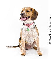 かわいい, モデル, 隔離された, ビーグル犬, 背景, 白