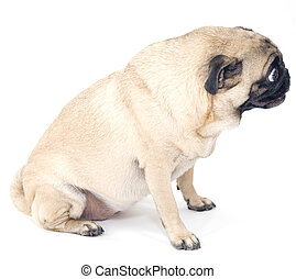 Pug Profile on White Background