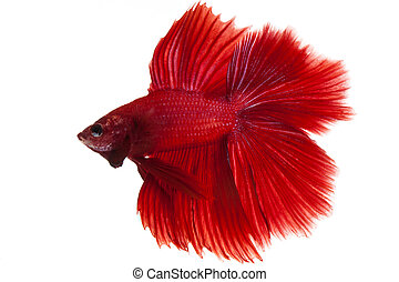 siamese fighting fish, betta splendens isolated on white...