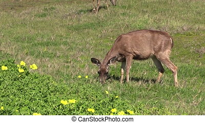 Blacktail Deer Doe - a doe blacktail deer grazing