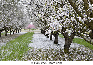 Almond blossoms beautiful trees with white flowers in spring...