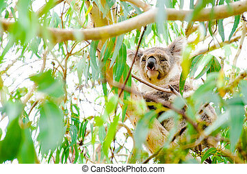Australian Koala bear.Koalas typically inhabit open...