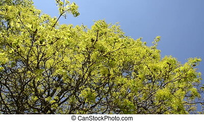 maple tree leaves sky - Maple tree leaves buds and blooms on...