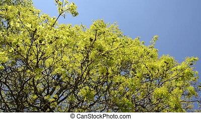 maple tree leaves sky