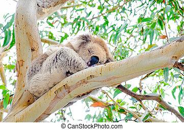 Australian Koala bear.Koalas typically inhabit open...