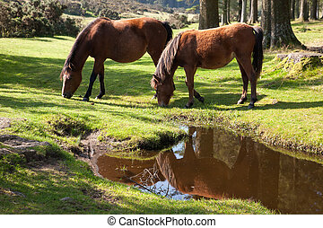 Bellever Dartmoor Devon - Dartmoor Ponies at Bellever in...