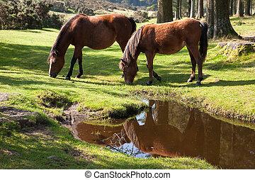 Bellever Dartmoor Devon - Dartmoor Ponies at Bellever in...