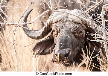 Cape Buffalo - A big buffalo bull watching from below some...