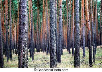 many pine trees in a wood with parallel pattern