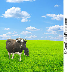 Cows - Two cows on a green meadow