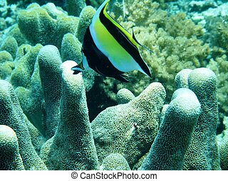 Angelfish and coral underwater off Manado in Indonesia