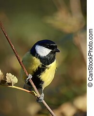 Great Tit - a great tit sitting on a branch