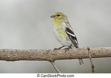 Male American Goldfinch in Spring Moult