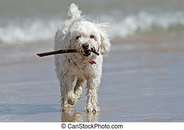 Small White Dog Carrying a Stick at the Beach - White...