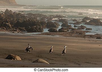 cormorants basking on beach in New Zealand