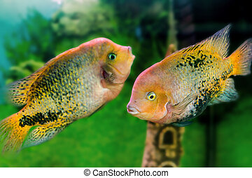 aquarium fish Cichlasoma synspilumn - mage of a beautiful...